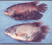 An example of a Grey fish, Osphronemus exodon or Mekong Giant Gourami (Pba Men / Pba Raet)