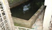 An example of rearing Clarius sp. catfish in a cement tank under a house. Photo taken in a village along the Nam Ou in 2010