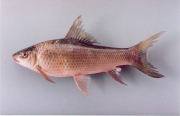 An example of a white fish, Labeo pierrei or Pba Va