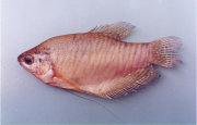 An example of a species of black fish, Trichogaster pectoralis or Snakeskin Gourami (Pba Salit)